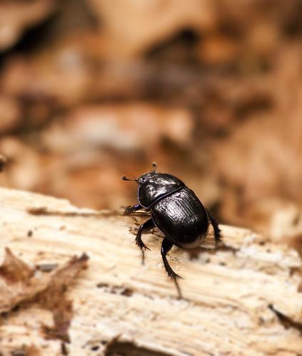Les molécules chimiques toxiques trouvées dans les crottins affectent les insectes qui s'en nourrissent.