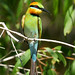 Rainbow Bee-Eater - Photo (c) David Cook, some rights reserved (CC BY-NC)