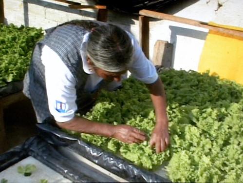 Growing Lettuce in Simplified Hydroponics aka Raft Hydroponics (Floating Garden)