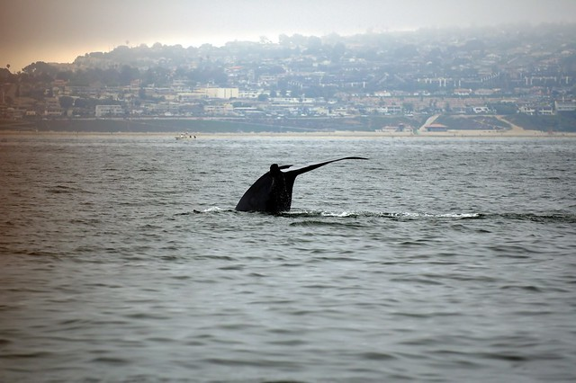 Blue Whale off Redondo Beach
