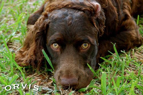 Orvis Cover Dog Contest - Brooks