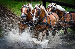 Horse combined driving. Marathon. Linden, Belgium