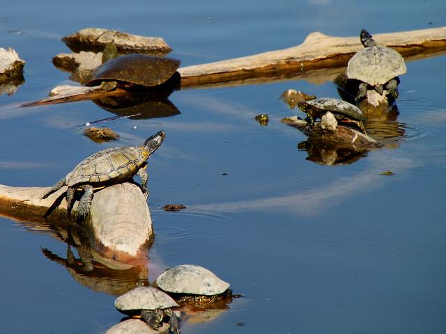 Rio Grande Turtles and Frog