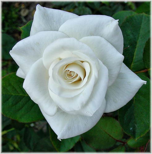 1576-Rosa blanca