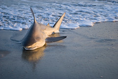 NOM NOM NOM! Shark Lands On Atlantic Beach