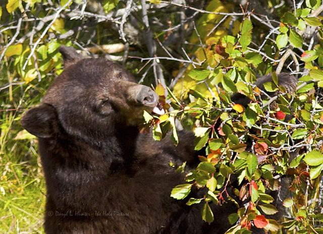 Black bear eating choke cherries flickr photo sharing