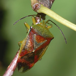 Birch Shieldbug (Elasmostethus interstinctus)