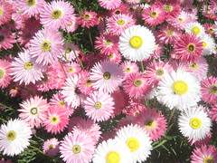 dorotheanthus bellidiformis(0.0), marguerite daisy(0.0), gerbera(0.0), daisy(0.0), chrysanths(0.0), asterales(1.0), annual plant(1.0), flower(1.0), flora(1.0), floristry(1.0), daisy(1.0), pink(1.0), petal(1.0),