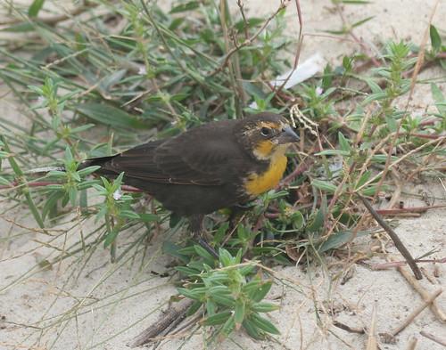 Female Yellow-headed Blackbird 9-26-10