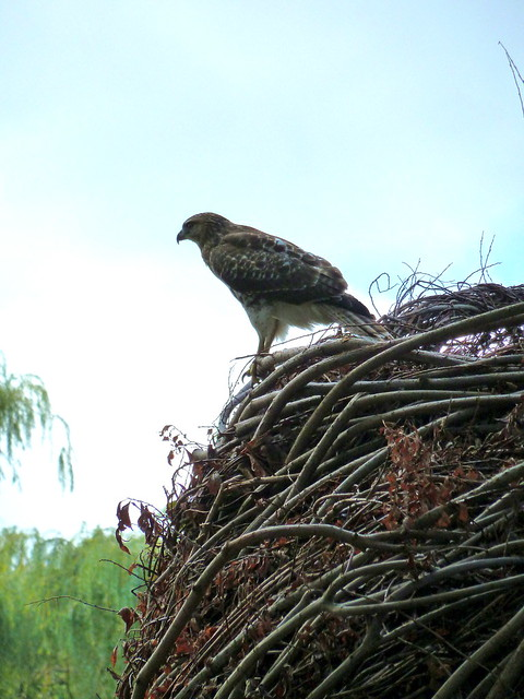 A red-tailed hawk on Patrick Dougherty's sculpture Natural History. Photo by Karen Orlando.