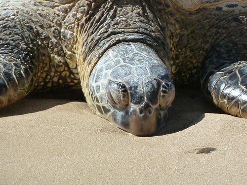 HiwaHiwa, a Hawaiian Green Sea Turtle (honu)