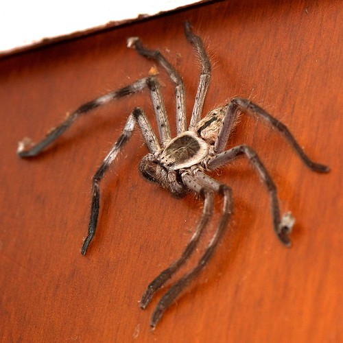 Giant Grey Huntsman, Holconia immanis