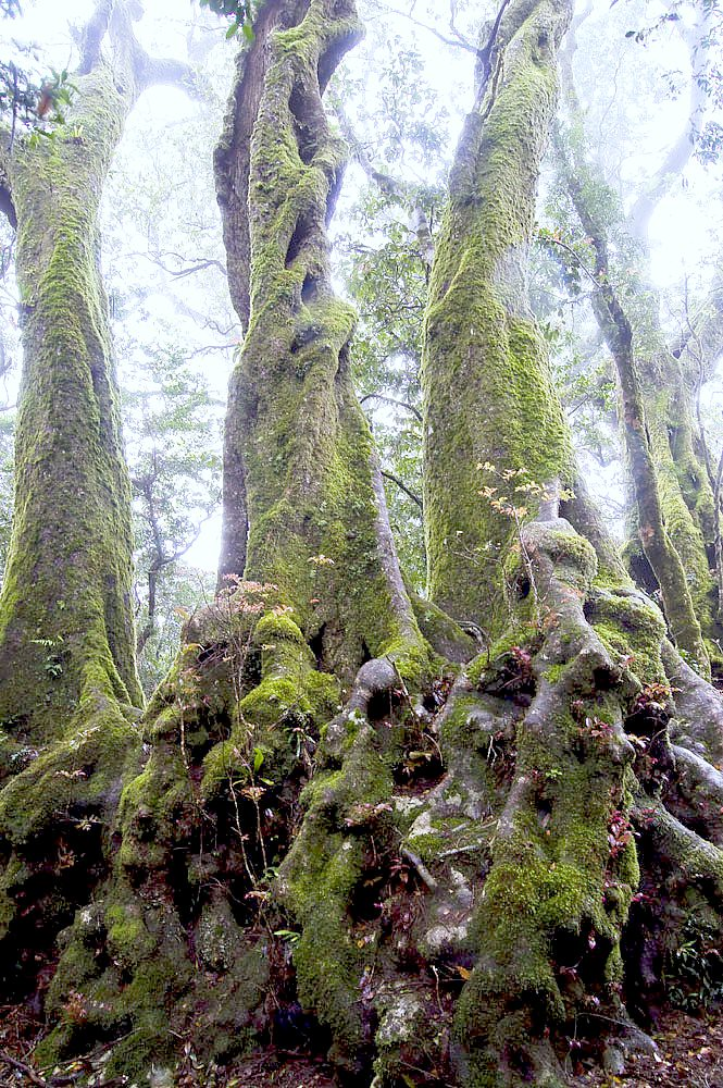 Antartic Beech Trees