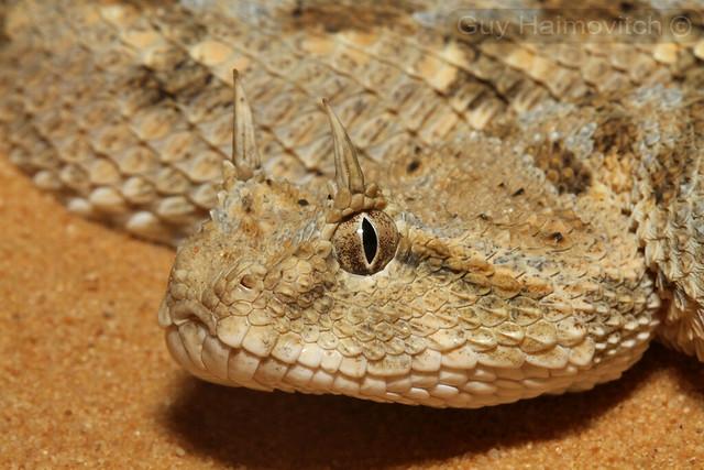 Arabian Horned Viper (Cerastes cerastes) עכן חרטומים ...