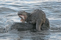 Otter Co.Antrim Coast
