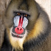 Portrait of a Male Mandrill