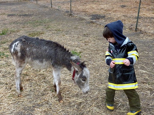 Playing with miniature donkeys