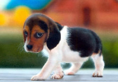 5126883524 b81ee85f34 m Beagle Dog Breed: Fun loving Family Pet
