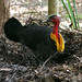 Australian Brush-turkey - Photo (c) David Cook Wildlife Photography, some rights reserved (CC BY-NC)