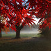 Japanese Maple by Jason Neely