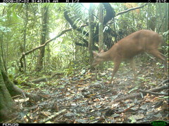 South American Red Brocket