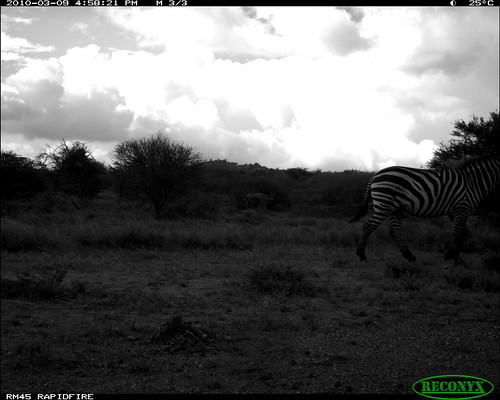 burchellszebra equusburchellii mpala file:name=img0183jpg taxonomy:common=burchellszebra siwild:study=mpala siwild:studyId=mpalasets siwild:plot=oljogi geo:locality=kenya file:path=dpt36pt36cam14disc32bimg0183jpg sequence:id=oljogiseq1115 siwild:imageid=kenyapic5808 otherhoovedmammals taxonomy:group=otherhoovedmammals taxonomy:species=equusburchellii siwild:location=mpala238 siwild:camDeploy=mpaladeploy687 siwild:date=201003091658000 siwild:trigger=oljogiseq1115 sequence:length=6 sequence:index=6 siwild:species=165 geo:lon=0348127 geo:lat=37046007 siwild:region=kenya BR:batch=sla0620101118055537 sequence:key=3