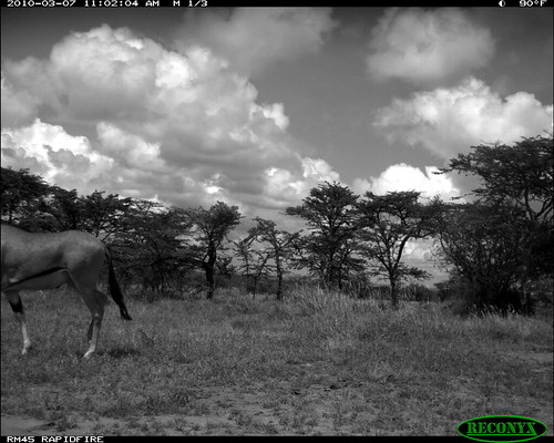 mpala oryxbeisa deerandantelope siwild:study=mpala siwild:studyId=mpalasets siwild:plot=oljogi geo:locality=kenya taxonomy:group=deerandantelope file:name=img0478jpg file:path=dpt37pt37cam62disc28bimg0478jpg sequence:index=4 siwild:imageid=kenyapic6490 siwild:location=mpala239 siwild:camDeploy=mpaladeploy688 taxonomy:species=oryxbeisa taxonomy:common=besiaoryx siwild:trigger=oljogiseq1222 siwild:date=201003071102000 besiaoryx sequence:length=5 sequence:id=oljogiseq1222 geo:lon=0357232 geo:lat=37045574 siwild:region=kenya BR:batch=sla0620101118055537 siwild:species=197 sequence:key=2