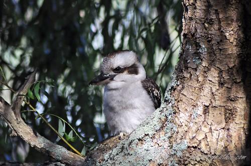 Kookaburra in the Willow Tree
