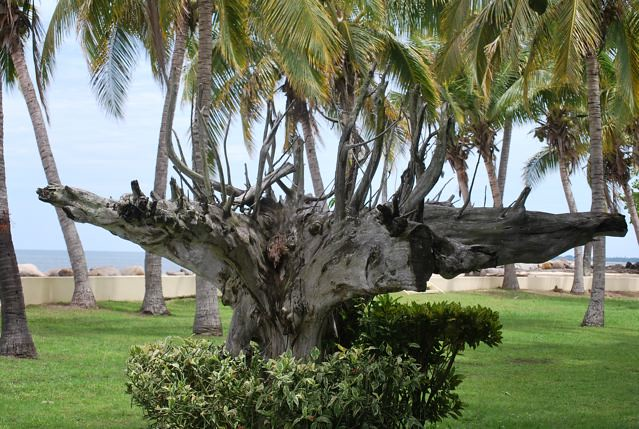 Landscaping With Driftwood : Driftwood reclaimed for landscaping sonaisali island fiji