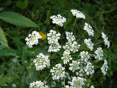apiales, flower, cow parsley, cicely, plant, anthriscus, wildflower, flora, produce, caraway,