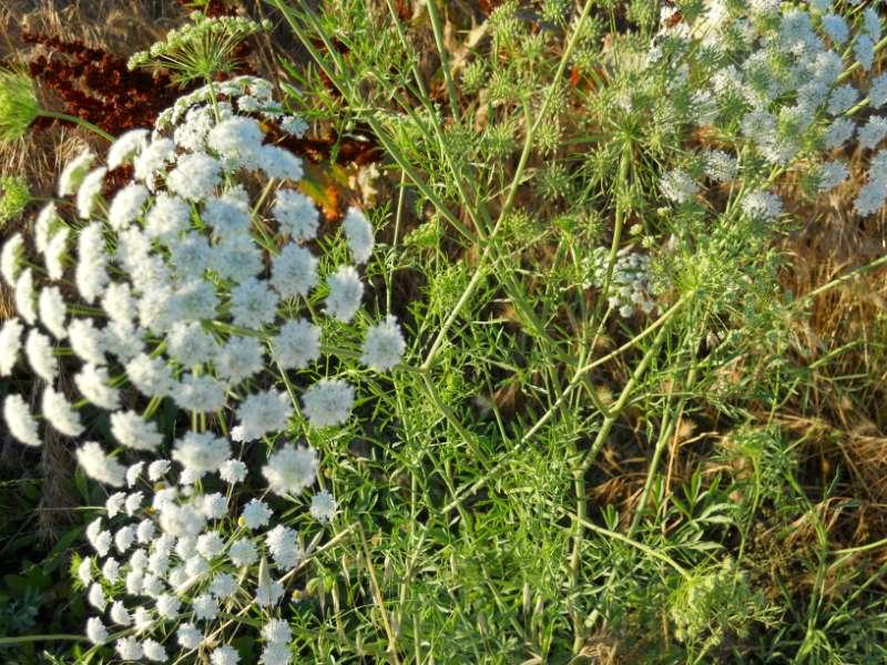 Achillea milefolium 4