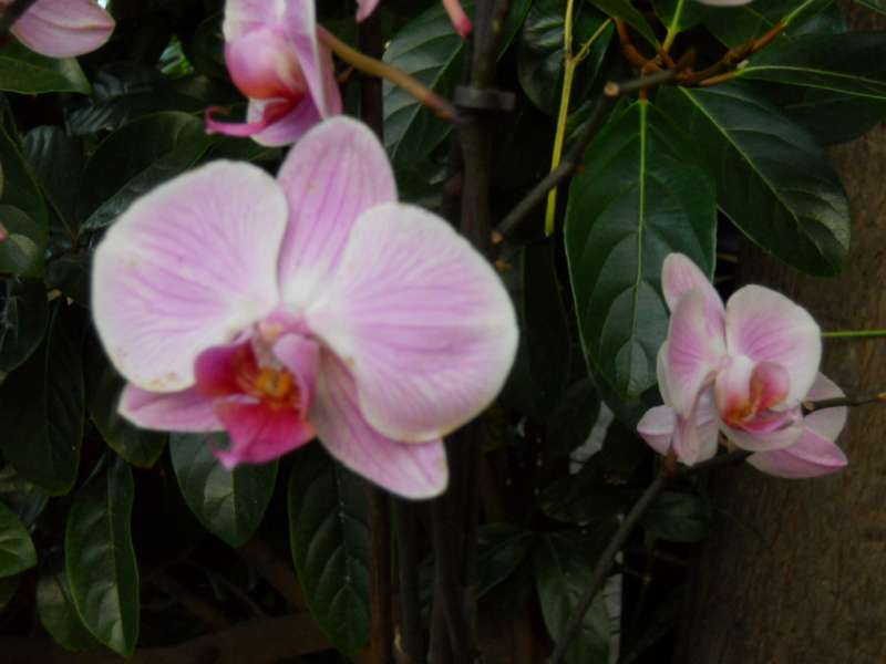 Phalaenopsis híbrido 2
