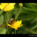 Red-Tailed Bumble Bee On A Buttercup