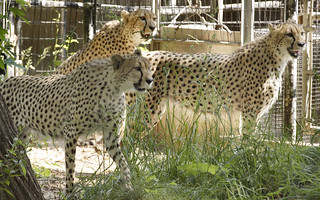 Three Cheetahs Return to Washington