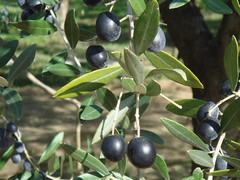 shrub(0.0), calamondin(0.0), acerola(0.0), flower(0.0), plant(0.0), damson(0.0), huckleberry(0.0), produce(0.0), food(0.0), prunus spinosa(0.0), bitter orange(0.0), bilberry(0.0), evergreen(1.0), berry(1.0), branch(1.0), tree(1.0), olive(1.0), chokeberry(1.0), fruit(1.0),