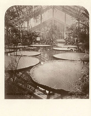 Stereoview (animated) of the Waterlily House and giant waterlily (Victoria amazonica) at Kew Gardens