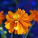 Proudly Orange by Dovid100