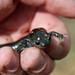 Small photo of Spotted Salamander (Ambystoma maculatum)