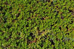 shrub(0.0), flower(0.0), soil(0.0), grass(0.0), tree(0.0), forest(0.0), hedge(0.0), lawn(0.0), moss(0.0), leaf(1.0), herb(1.0), flora(1.0), green(1.0), non-vascular land plant(1.0), vegetation(1.0), groundcover(1.0),