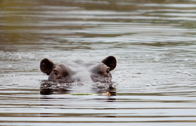 Hippo, Kwhai, Moremi Game Reserve