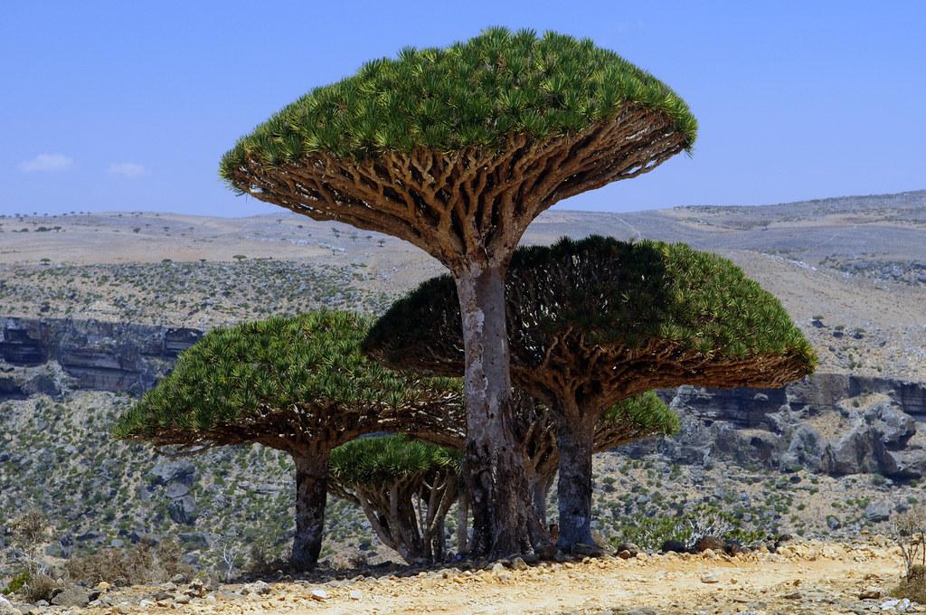 ソコトラ島の竜血樹と風景