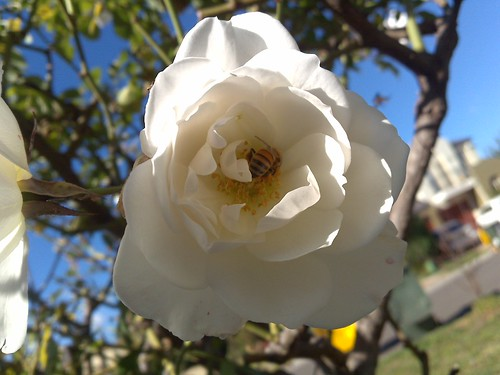 white rose - bee