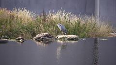 Heron (2)