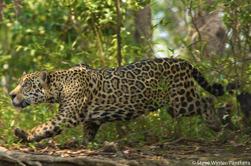 Jaguar stalking in the Brazilian Pantanal | Panthera
