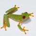 Small photo of Red Eyed Treefrog Agalychnis callidryas