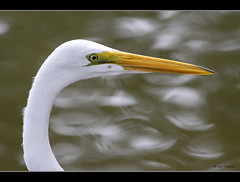 Great Egret    {Explore}