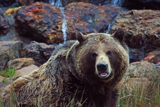 Grizzly Bear | by LisaW123