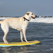 Surfer Dog Maggy