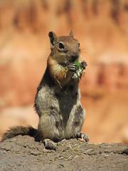 marmot(0.0), animal(1.0), squirrel(1.0), fox squirrel(1.0), rodent(1.0), prairie dog(1.0), nature(1.0), fauna(1.0), close-up(1.0), chipmunk(1.0), whiskers(1.0), wildlife(1.0),