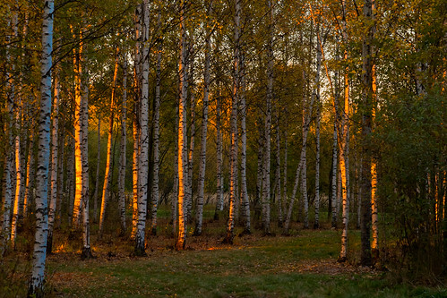 sunset woods birch autumncolor canoneos5dmarkii autumnleafcolor